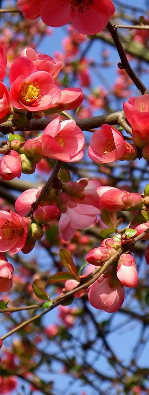 Japanese flowering quince - an old-fashioned favorite that blooms for weeks in May.  Hummingbird