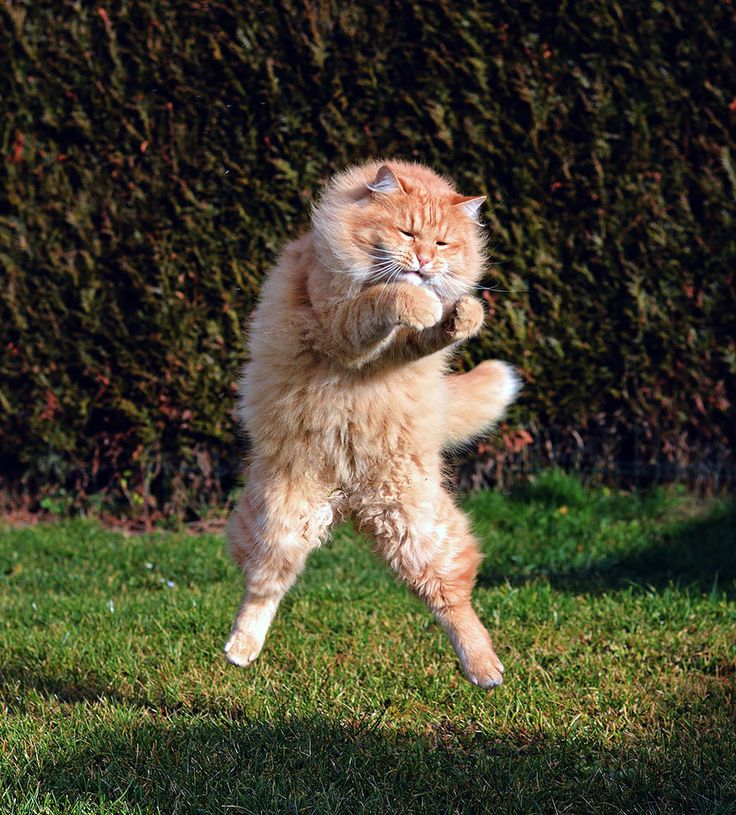 52 magnifiques photos de chats qui sautent 53 superbes photos de chats qui  sautent jumping cats