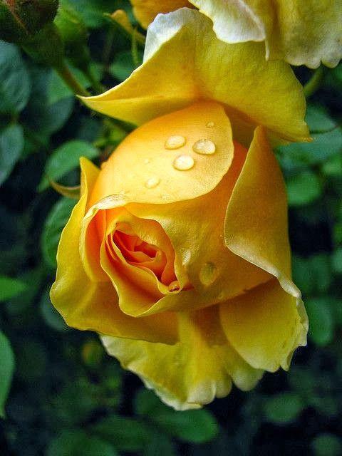 Beautiful..my favorite color rose