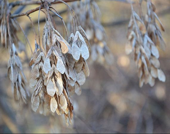 Nature photography print LIMITED EDITION 11 x 14, 12 x 10, 8 x 10 fine art home decor detal sepia gold silver beige pastel photo maple seed