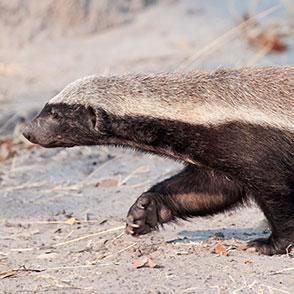 This website contains a wide variety of honey badger information http://animals.sandiegozoo.org/animals/honey-badger-ratel