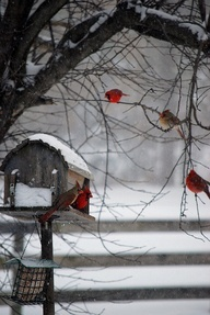 Nov 29...(prompt...3 gifts red) *cardinals...so beautiful against the drab backdrop of winter!! *apples...one a day keeps the doctor away!! *cranberries...so fun stringing them with popcorn last night as a family!!