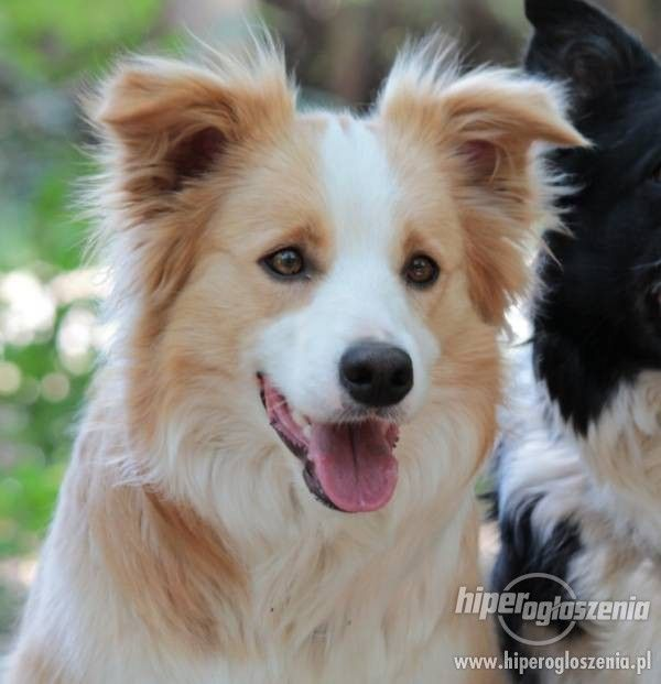 red and white border collies - Google Search