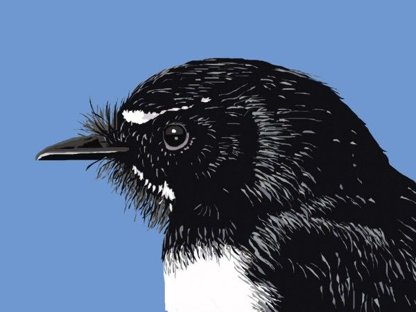 Willie-Wagtail-head