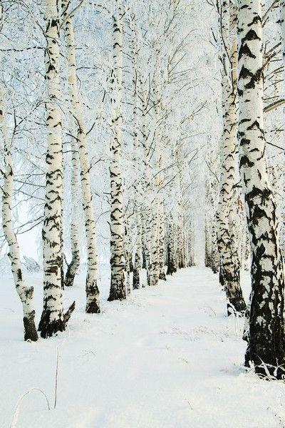 winter birch..Forests, Winter Snow, Paths, Birches Trees, Winter Trees, Winter Wonderland, White, Black