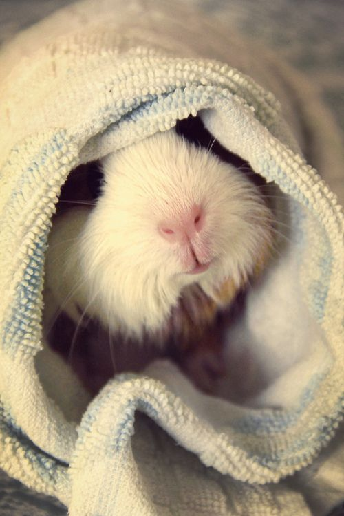 sweet guinea pig. When i was a kid, I used to wrap up my guinea pig in a blanket too, lol.