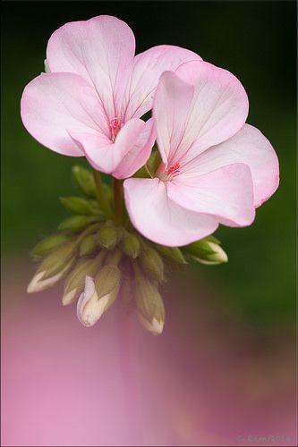 Geranium by Floral Colors