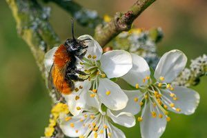 A tawny mining bee collecting nectar and pollen from blossom.