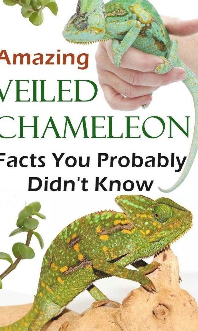 Pin Na Doshci Chameleons