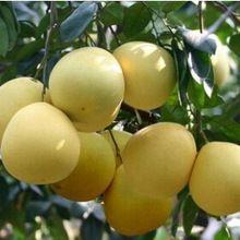 Semillas pomelo pomelo, plantadores exterior semillas de árboles frutales 10 partículas(China (Mainland))