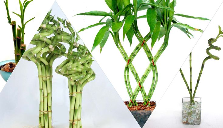 Bambu+Rezeki,+Tanaman+Pembawa+Hoki