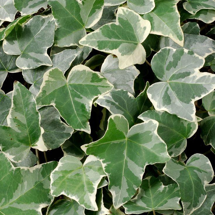 Hedera helix Glacier - Ivy - Dobbies Garden Centres