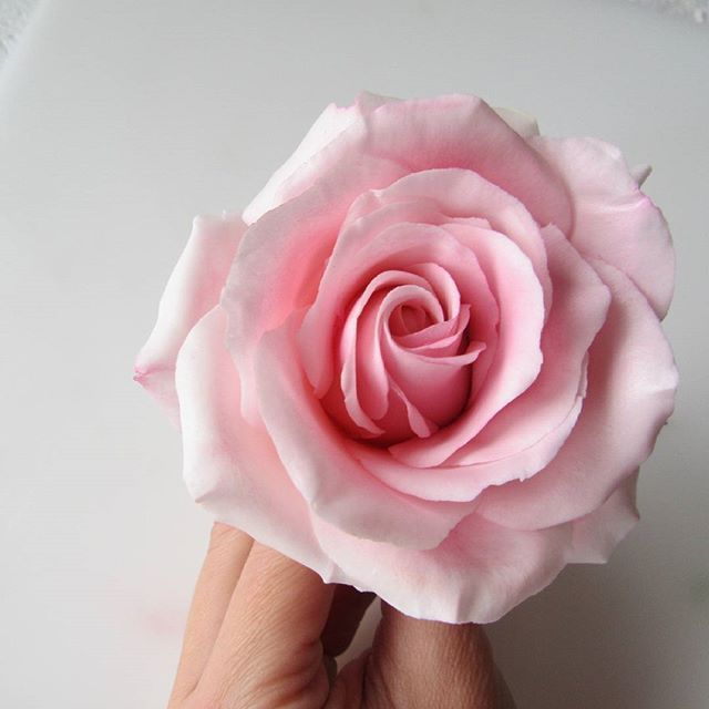 Archive:  pink rose, another angle #sugarflowers #sugarrose #sugarroses #sugarartist