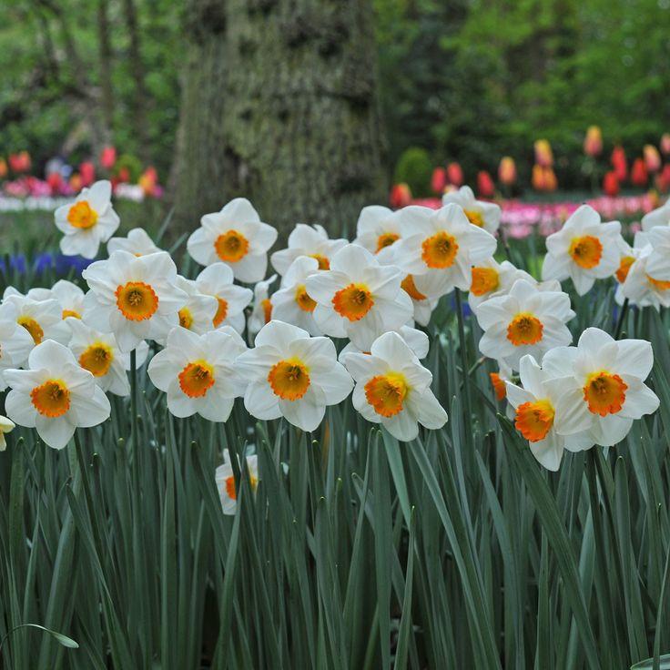 Narcissus April Queen - diese Narzisse verwandelt den Garten im April in ein Blütenmeer. Farbe und Form der Blüte sind wunderschön - als Blumenzwiebeln online bestellbar bei www.fluwel.de
