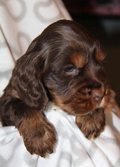Chocolate Tan Cocker Spaniel | Beautiful Chocolate And Tan Cocker Spaniel Puppy