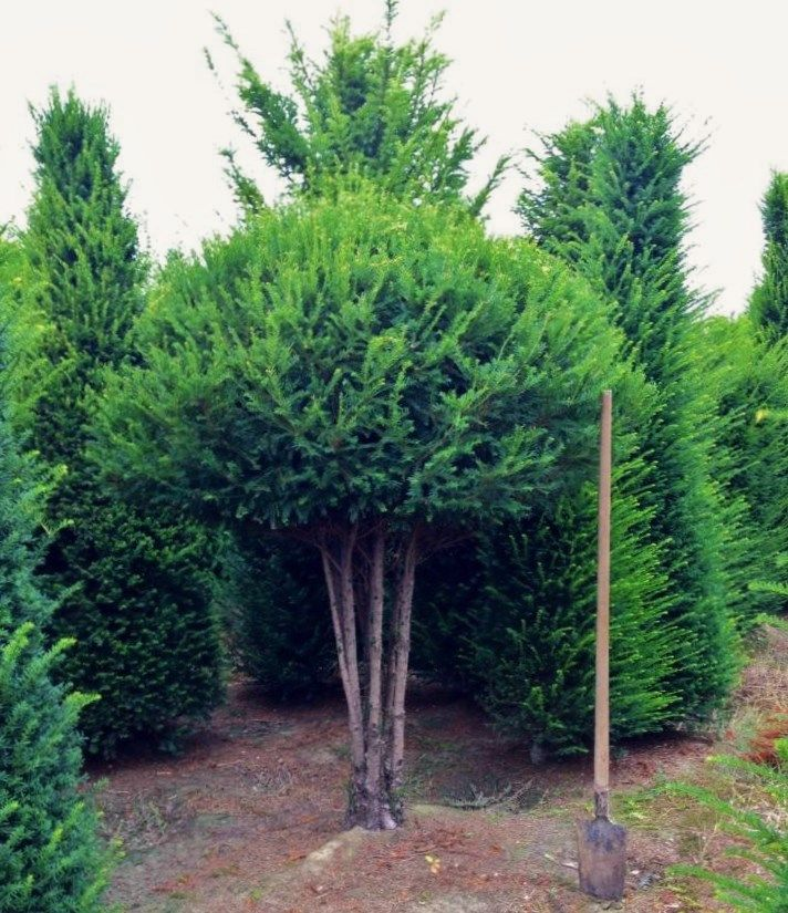 Taxus baccata - In Pistoia it is also defined as a mushroom-shaped plant :)