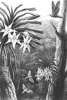 A. sesquipedale being pollinated by a moth (1867), drawn by Thomas William Wood based on Alfred Russel Wallace's description