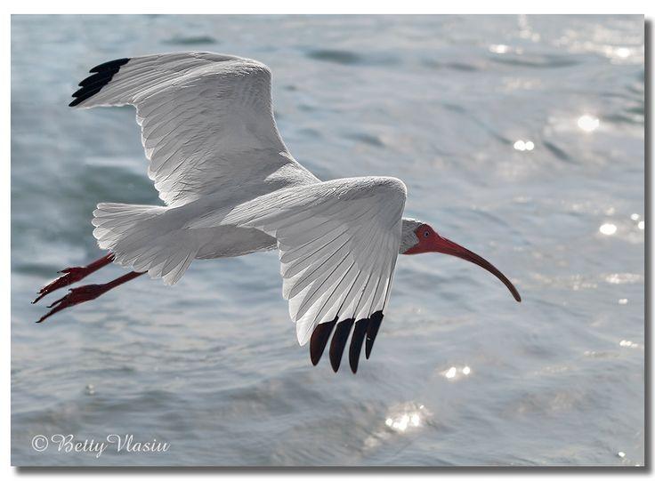https://flic.kr/p/234p7E4   American White Ibis