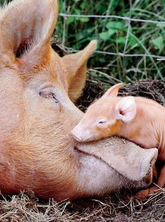 so much love...mother and baby pig sleeping.