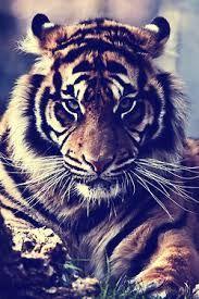tigreeeeee
