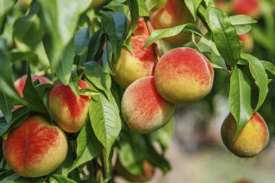 Cold Hardy Peach Trees: Choosing Peach Trees For Zone 4 Gardens - Many people are surprised to learn that northern gardeners can grow peaches. The key is to plant trees suited to the climate. Use the information found in this article to find out about growing cold hardy peach trees in zone 4 gardens.