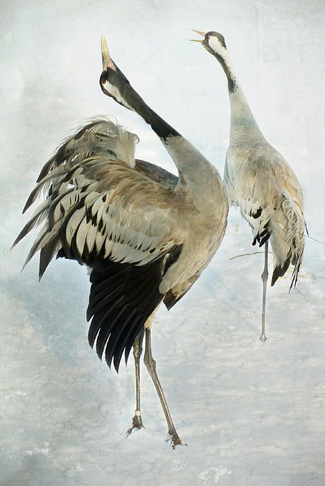The dance of the Cranes - 2 of 2 Greeting Card by Steppeland -