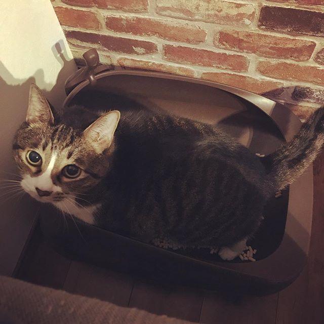 オシッコちゃんと出てますよ。 プライバシーのしんにゃいですよ。 膀胱炎持ちやから出てるか調べる義務がおかんにはあるんや。 #cat#cats#catstagram#catsofinstagram#kitty#neco#neco#nekostagram#ねこ#ねこ部#ねこすたぐらむ#ねこスタグラム#にゃんすたグラム#愛猫#猫#保護猫#ネコダスケステーション#まに記録