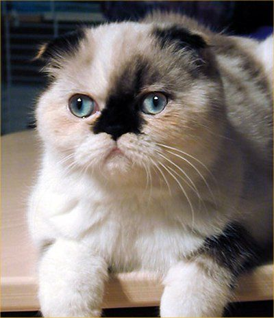 Foldex cats are a cross between Exotic Shorthairs and Scottish Folds, bred in Canada. This cat has a Persian-type cobby conformation combined with folded ears. The Foldex Cat remains controversial   because of skeletal defects associated with the Scottish Fold breed