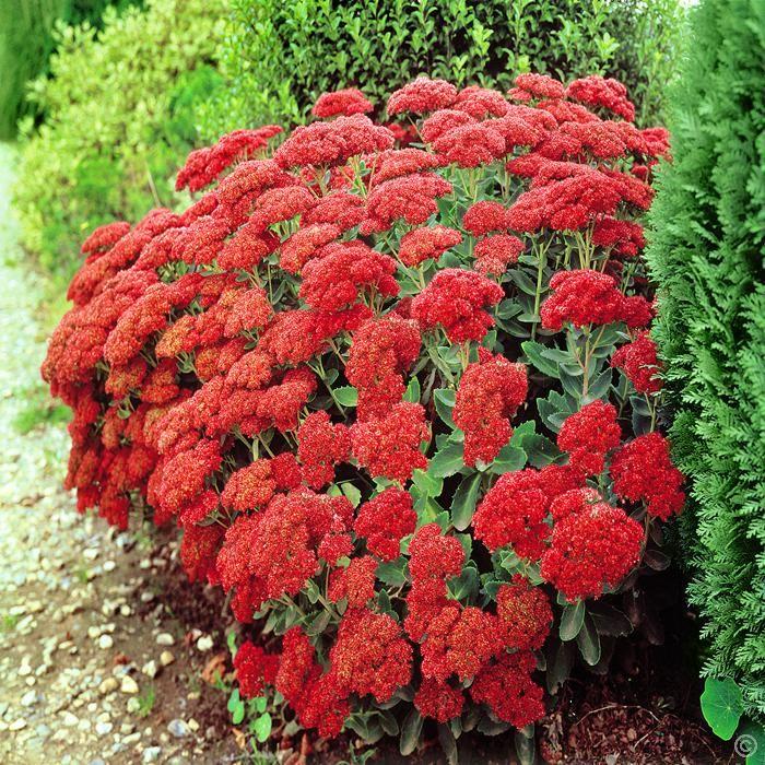 Fetthenne (Sedum Spectabile) Autumn fire x 3 günstig online kaufen, bestellen Sie schnell und bequem online