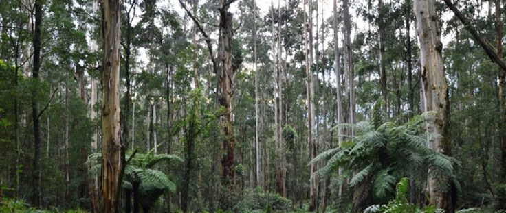 The Olinda Falls and Valley Circuit is a very picturesque walk through the Olinda Forest area. This is a highly varied walk.