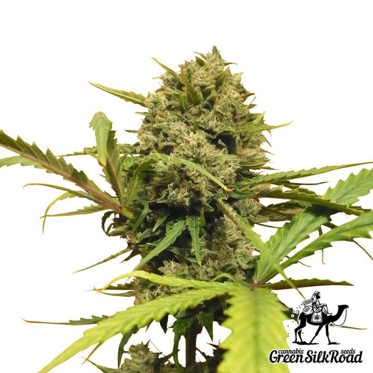 Auto Northern Lights Feminised is a beautiful autoflowering variation of the original strain pleasing with great commercial potential and high-quality stuff containing up to 17% THC. Its fantastic performance and compact size (less than 1 m) in conjunction with the unique ruggedness brought the strain to the Top-1 at the famous cannabis competition La Bella Flora