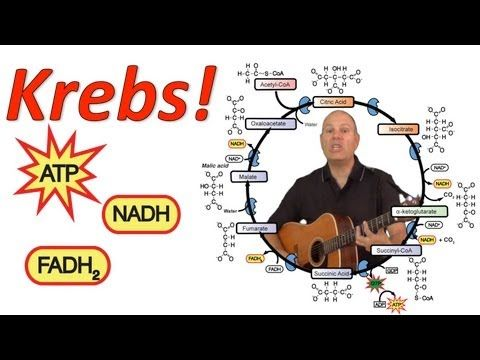 ▶ Krebs! (Mr. W's Krebs Cycle Song) - YouTube