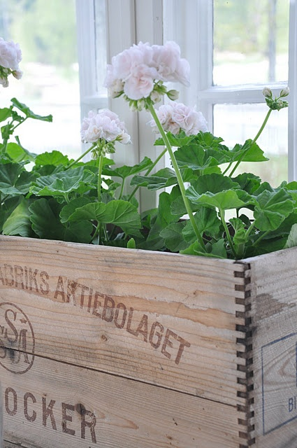 White geraniums in wooden crate