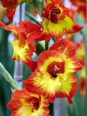 Grown from corms, gladiolus (Gladiolus spp.)  produces tall flowering stems that make impressive cut flowers. Hardy in U.S. Department of Agriculture plant hardiness zones 7 and warmer,  gladiolus ...