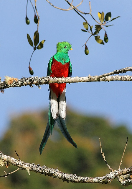 Resplendent Quetzal Pharomachrus mocinno (m)  by tristanba