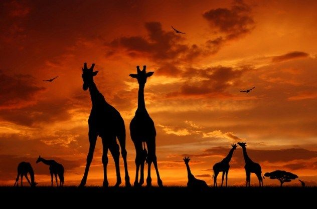 10 Amazing And Funny Fact About Giraffes | African Animal