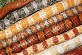 colors of corn snakes - Bing Images
