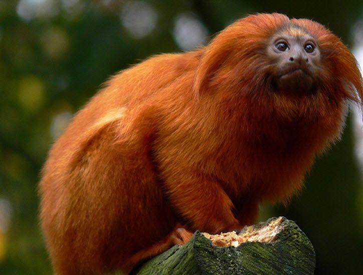 a description of golden marmosets also called leontopithecus chrysomelas The behavior of the wied's marmoset, callithrix kuhli.