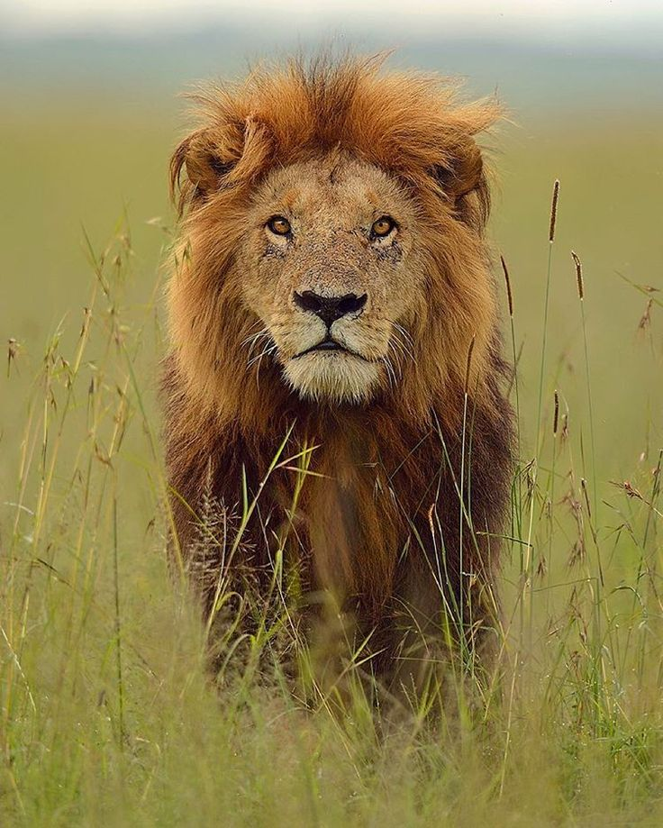 "beautiful-wildlife: ""Lion - Masai Mara, Kenya by brianscott_photography """