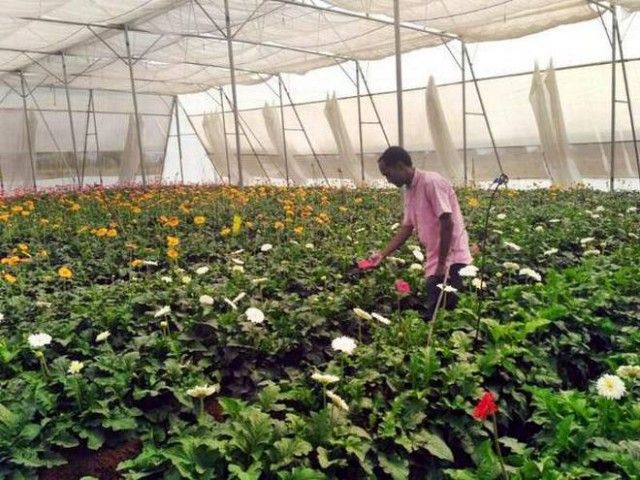 Why Is Gerbera Flower Farming In Maharashtra So Famous Gerbera Flower Gerbera Flower Farm