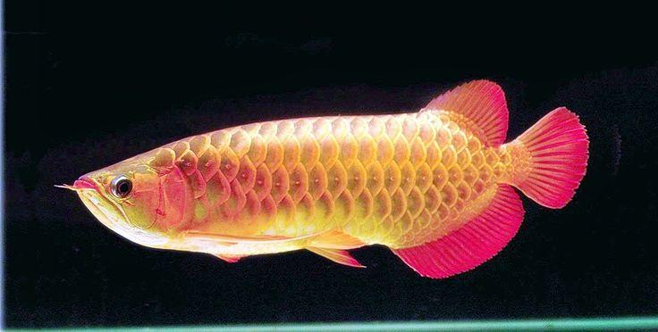 42 best images about arwana fish on pinterest restaurant for Kumak s fish