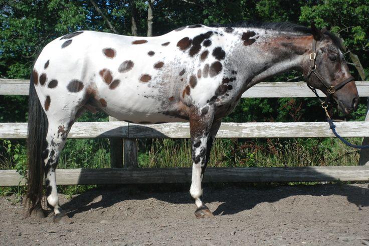 dark bay near leopard - unknown horse | colours ...