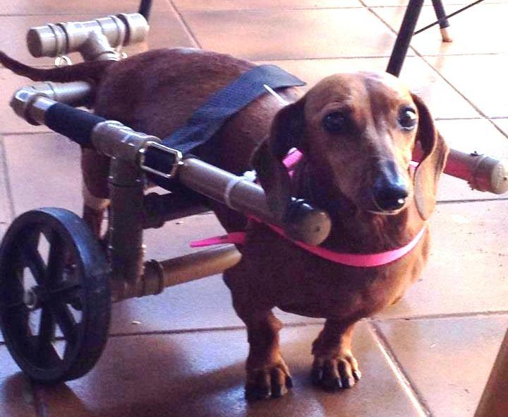 Renata Cobo é quem faz essas cadeiras de rodas para cães que perderam o movimento da parte traseira do corpo , o marido Albano ajudou a construção dessa maravilha feita de p.v.c e rodinhas de carrinho de feira , que Deus abençoe essas pessoas de boa vontade!