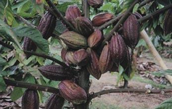 """L'albero del cacao cresce nella fascia tropicale, tra i 10 e i 20 gradi a nord e a sud dell'equatore, zona anche chiamata """"The cocoa belt"""". L'albero del cacao può essere molto alto e arrivare fino a 12 metri. Il cacao comincia a dare frutti solo dopo circa 5 anni, ne impiega 10 per fornire una resa ottimale. I suoi frutti, chiamati cabosse, possono assumere un colore che va dal marrone/giallo al viola, e contengono dai 20 ai 40 semi o fave di cacao. Ogni pianta produce dalle 20 alle 50…"""