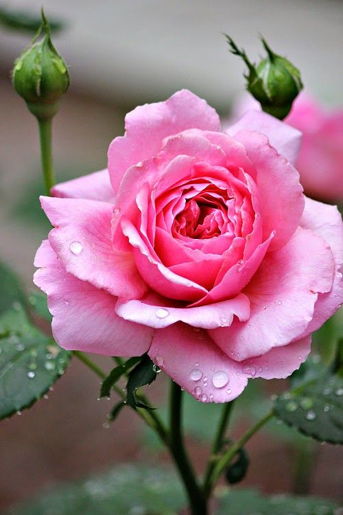 'Princess Alexandra of Kent' ~ rose