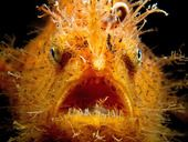 #Eyetoeye #photo #competition #heat02 #Top30 #vote #safarious by Jackie Campbell #hairyfish #scaryfish #fish #seacreature