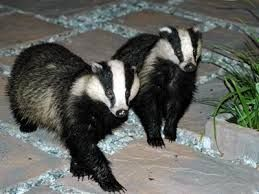 Are badgers related to weasels and otters? What food do they like to eat? Where do they live? Visit fun and interesting facts about badgers in http://www.easyscienceforkids.com/all-about-badgers.html