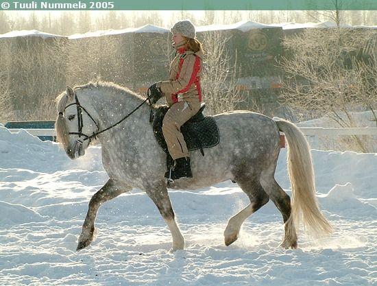 Pony-sized Finnhorse stallion E.V. Jovankka