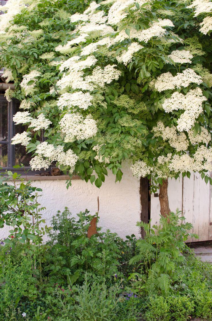m s de 25 ideas incre bles sobre holunderbaum en pinterest holunder pflanzen paneles de. Black Bedroom Furniture Sets. Home Design Ideas