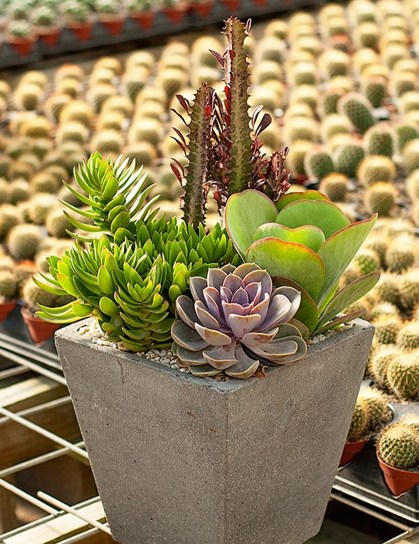 25 unique cacti and succulents ideas on pinterest indoor plants succulents plants in the - How to make a succulent container garden ...